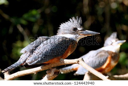 A Pair of Ringed Kingfishers - stock photo