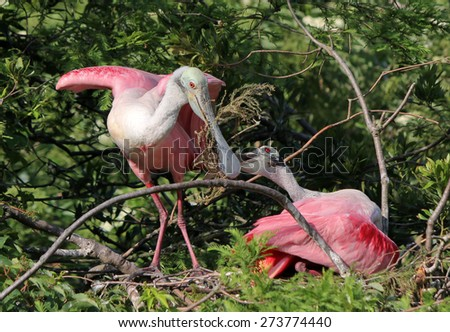 A pair of Roseate Spoonbills building a nest in St. Augustine, FL. - stock photo