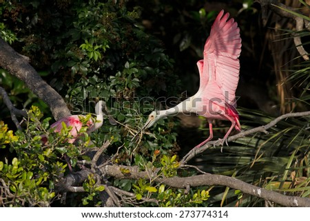 A pair of Roseate Spoonbills building a nest. The background is in the shadows and the late afternoon light is on the birds. - stock photo