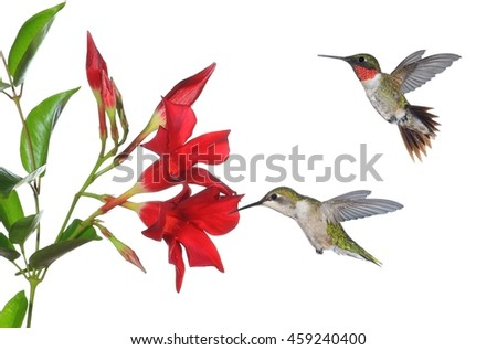 A pair of Ruby- throated hummingbirds (Archilochus colubris) at mandevilla flowers. - stock photo