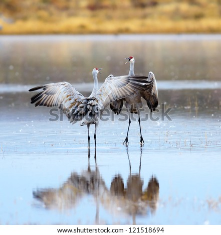 A Pair of Sandhill Cranes Dancing at Bosque del Apache National Wildlife Reserve in New Mexico USA. - stock photo