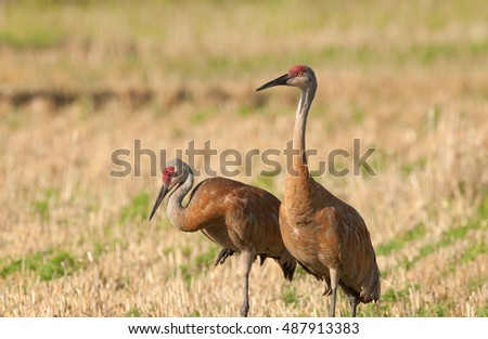 A pair of sandhill cranes (grus canadensis) in harvested grain field