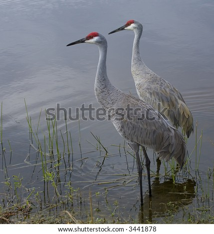 A Pair of Sandhill Cranes in the water at sunset. - stock photo