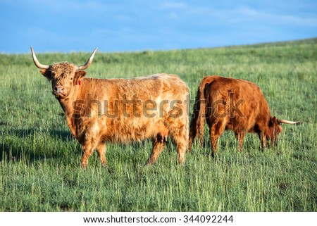 A pair of Scottish Highland cattle grazing on green grass in a pasture on a spring day.