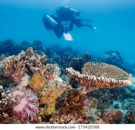 A pair of SCUBA divers swim over a Crown of Thorns starfish feeding on live coral - stock photo