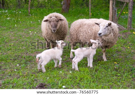 A pair of sheep and a couple of lambs on pasture.