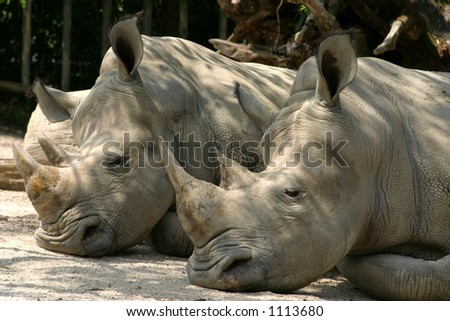 A pair of sleeping Rhinos in the Taiping Zoo - stock photo