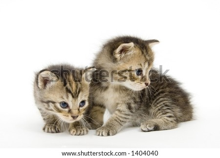 A pair of small kittens on a white background. These kittens are being raised on a farm in central Illinois