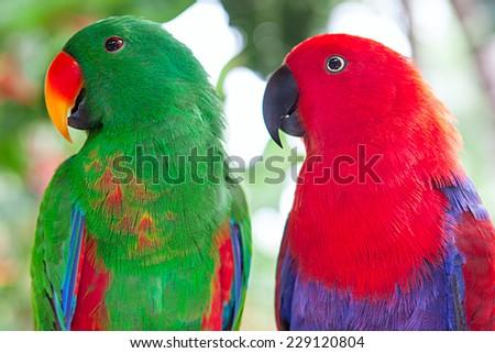 a pair of Solomon Island Eclectus Parrots ( Eclectus roratus solomonensis) - stock photo