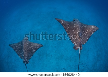 A pair of Spotted eagle rays (Aetobatis narinari) cruise above a deep, sandy seafloor near Cocos Island, Costa Rica. This remote island is known for its seasonal shark and ray aggregations. - stock photo
