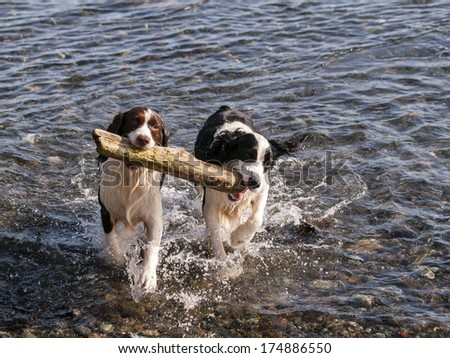 A pair of Springer Spaniels fetching the same stick from the ocean. - stock photo