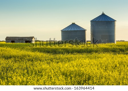 A pair of steel grain bins sit in a field of ripe yellow canola - stock photo