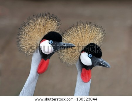 A pair of strikingly beautiful crowned crane birds from South Africa