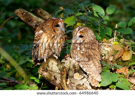 A pair of tawny owls in a wood - stock photo