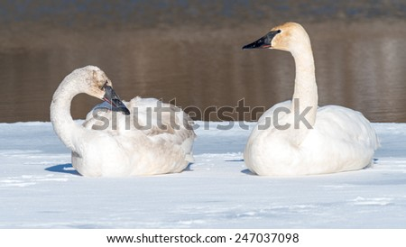 A pair of tundra swans sits in the snow.