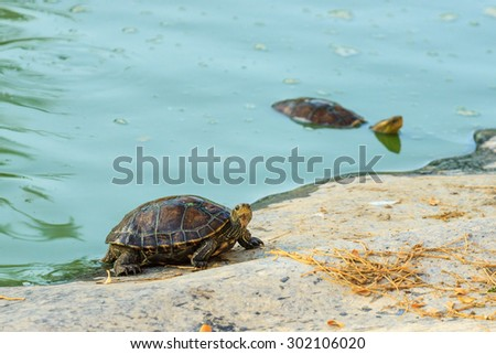A pair of turtles in a green pond - stock photo