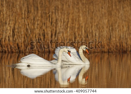 A pair of white birds floating on the lake, swans dancing in marriage - stock photo