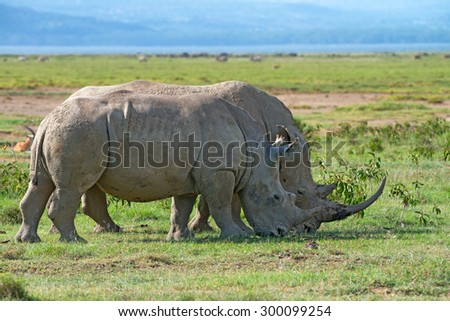 A pair of white rhinoceros (Ceratotherium simum) grazing in national park Lake Nakuru, Kenya - stock photo