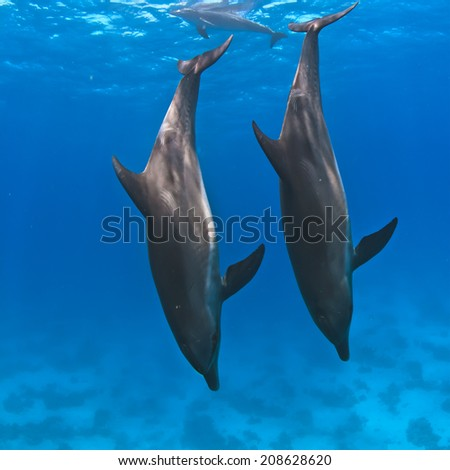 A pair of wild dolphins underwater diving down into a deep - stock photo