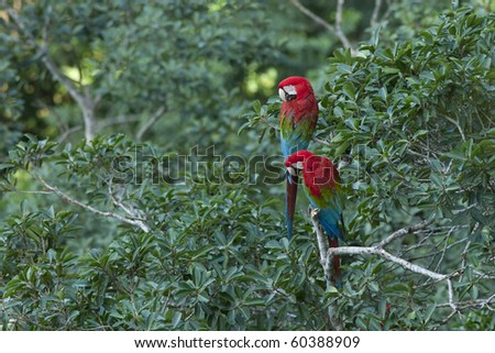 A pair of wild scarlet macaws perched in a tropical tree. - stock photo