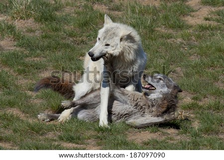 A pair of wolves at play at a Colorado wildlife refuge. - stock photo