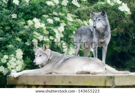 A pair of wolves looking alert and dangerous