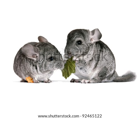 A pair of young chinchillas with a dry leaf from a tree. isolation - stock photo