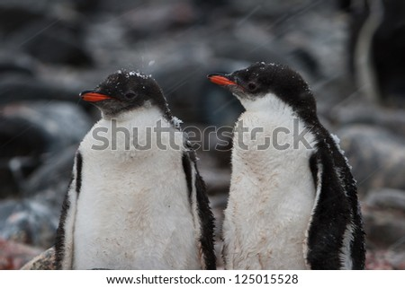 A pair of young Gentoo penguins (Pygoscelis papua) stands near their nests waiting for their parents to come back from feeding at sea off of the South Shetland Islands in Antarctica. - stock photo