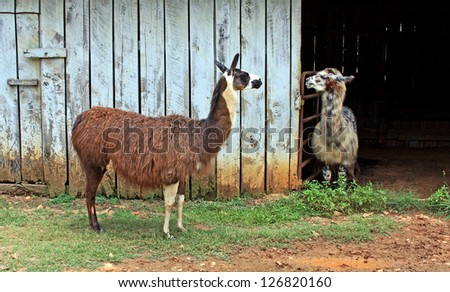 A pair of young Llamas socialize on the farm. - stock photo