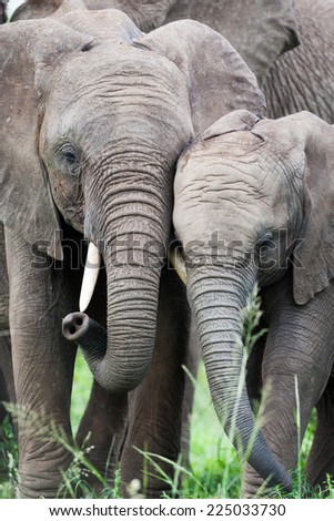 A pair of young wild African Elephants rubbing heads together to maintain family bonds - stock photo