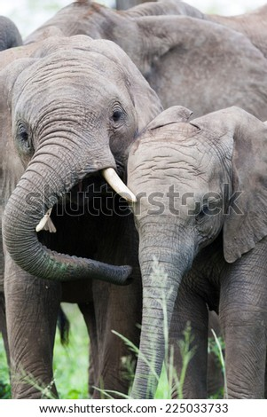 A pair of young wild African Elephants rubbing heads together to maintain family bonds