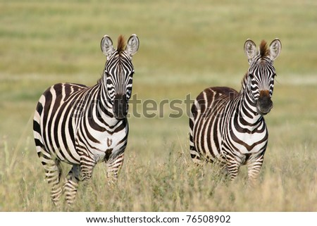 A pair of zebras in the Serengeti National Park