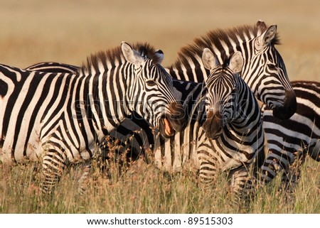 A pair of zebras play-fighting on the Serengeti Plains