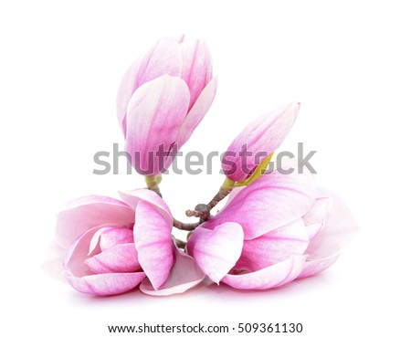 a pair pink magnolia flower on white background