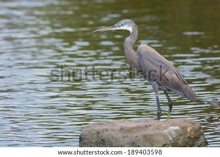 A pale Western Reef Heron (Egretta gularis) standing in shallow water - stock photo