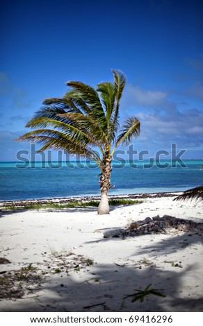 A palm tree on Half Moon Caye - stock photo