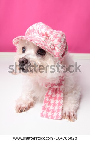 A pampered pooch wearing pink houndstooth cap and matching scarf. - stock photo