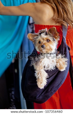 A pampered Yorkshire Terrier dog wearing a designer rhinestone collar and hair bow siting in a sling carrier being worn by a woman that is out shopping at a pet-friendly clothing store - stock photo