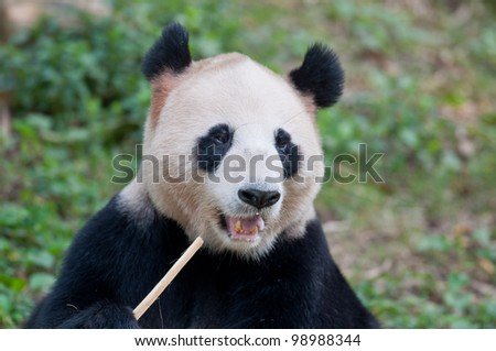 A panda is eating bamboo.