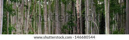 A panorama in a thick aspen grove, Colorado. - stock photo