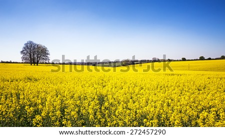 A panorama of a field of yellow rape or canola flowers, grown for the rapeseed oil crop. Late spring in Hampshire, UK - stock photo
