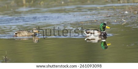 A panoramic image of a Mallard Couple in Hauser Lake, Idaho. - stock photo