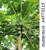 A papaya tree with bunch of fruits - stock photo