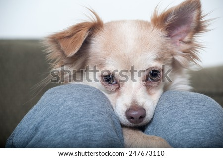 A Papillon-Chihuahua mix puppy looks into the camera from between the legs of its owner in a closeup shot of the dog's face