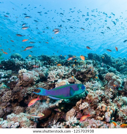 A Parrot fish swims around a tropical coral reef - stock photo