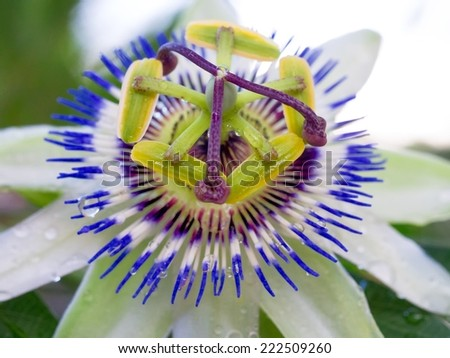 A passion-fruit flower close-up shot with blue and white petals - stock photo