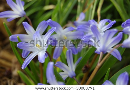 A patch of purple Star of David flowers in the morning before fully opened - Shallow depth of focus