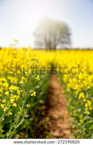 A path leads to an old tree in a field of yellow rape or canola flowers. Selective focus on flower in foreground, with defocused tree in background bathed in sunlight. - stock photo
