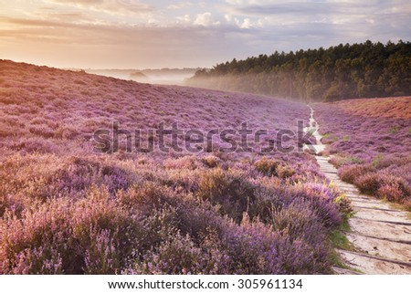 A path through endless hills with blooming heather at sunrise. Photographed at the Posbank in The Netherlands. - stock photo