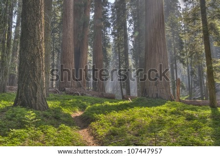 A path through the Sequoias at Sequoia National Park.